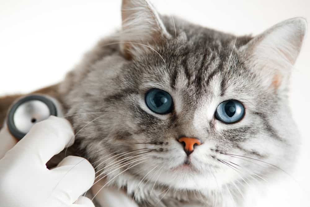 Cat getting routine exam and testing.