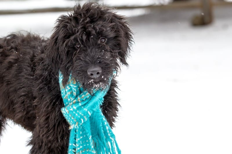 Black dog wearing blue scarf in the snow.