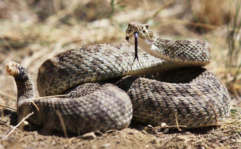 Rattlesnake closeup.