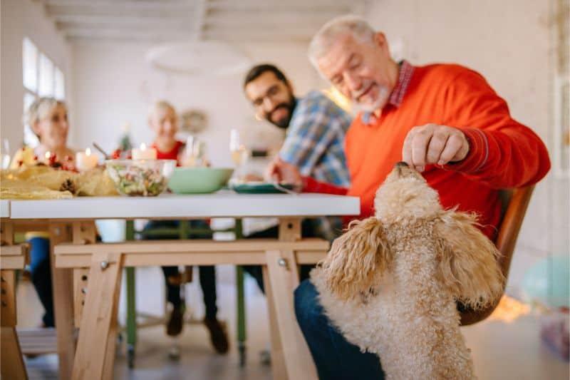 Auburn, CA dog having a pet friendly Thanksgiving.