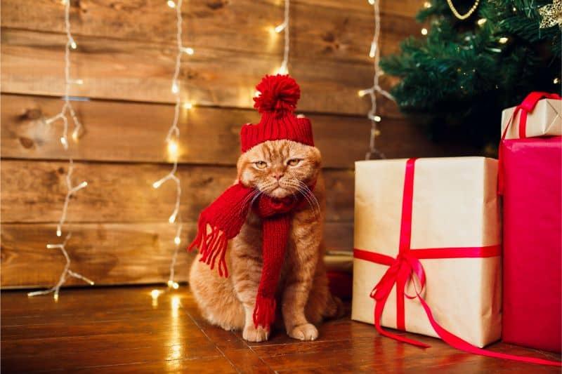 Auburn, CA cat getting in the holiday spirit.