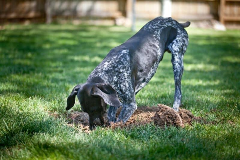 An Auburn, CA dog digging in the grass.