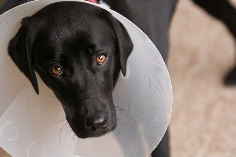 Auburn, CA dog after surgery