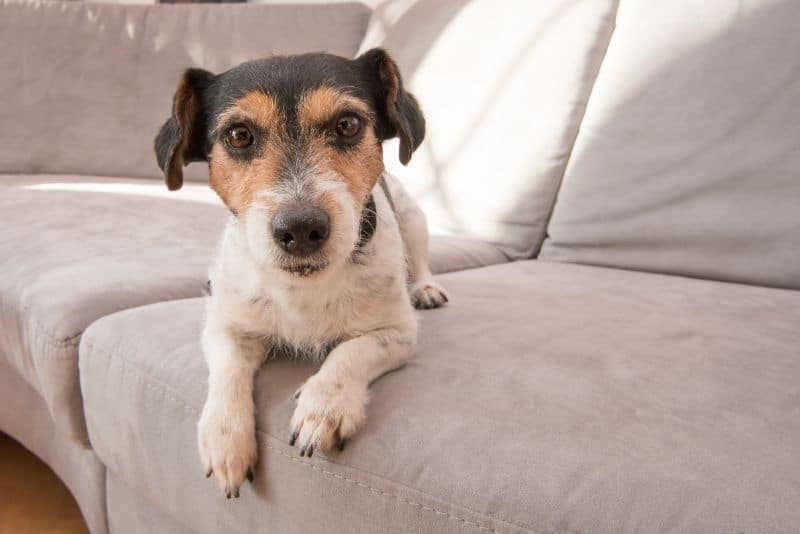 Pet Safety for Auburn CA Dog on Couch