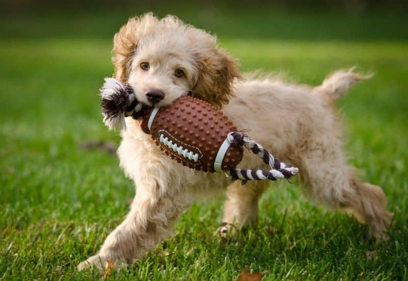 Auburn CA Dog with Pet Toy