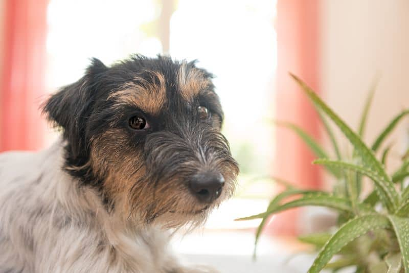 A dog sniffs an indoor plant.