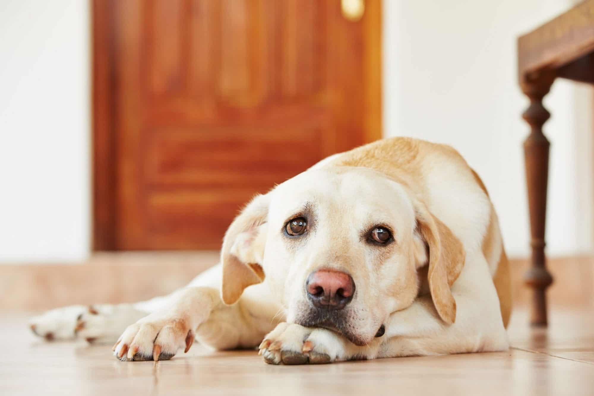Auburn, CA dog with heartworm.