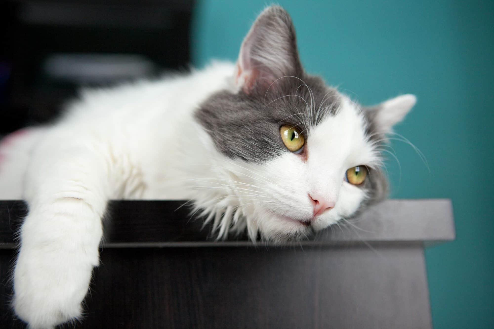 A gray and white cat being lazy