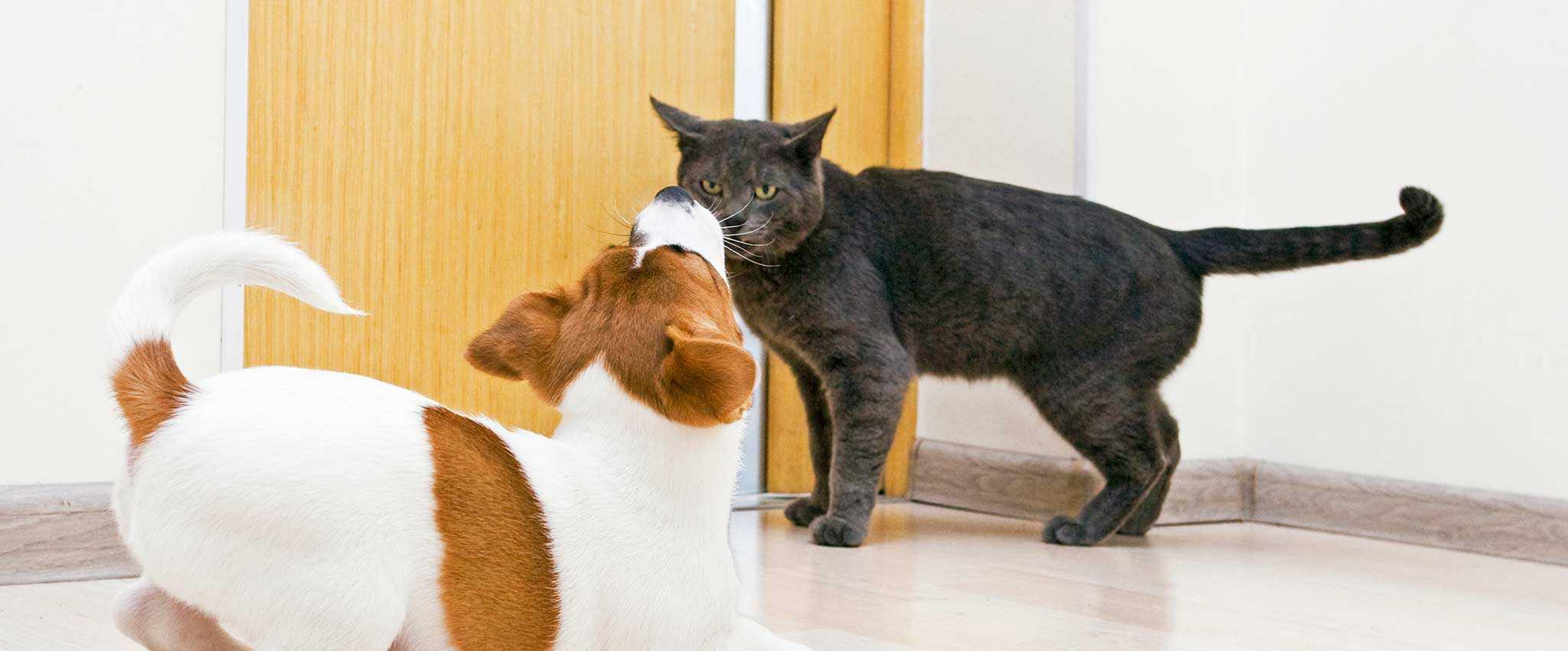 A cat facing down a dog