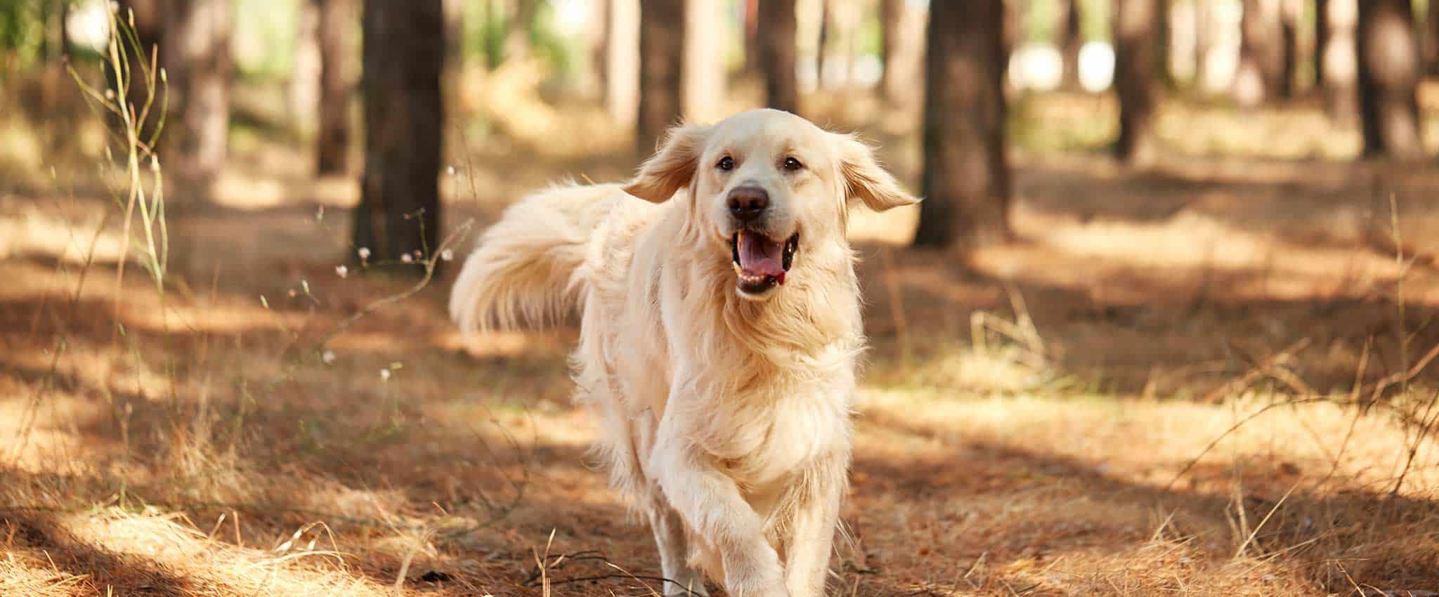 A golden retriever running in the outdoors