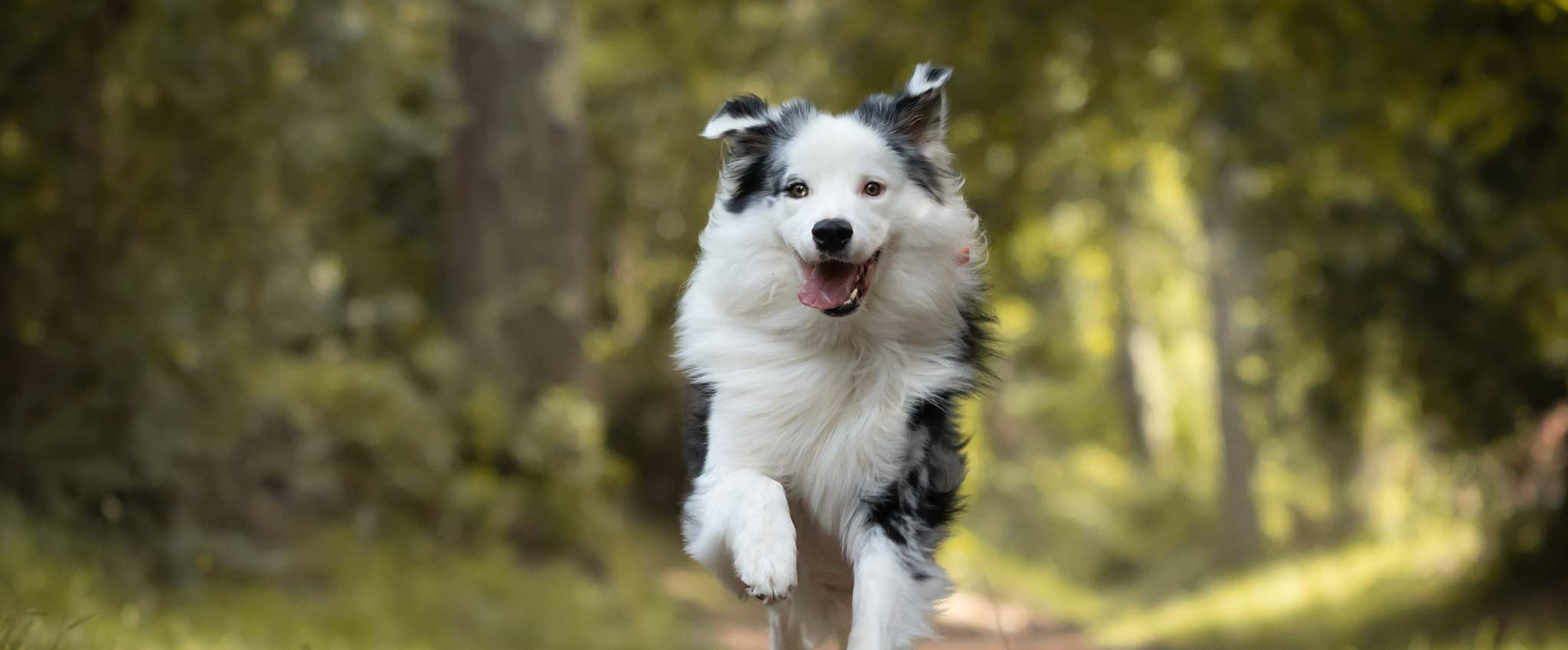A white and black dog on a run in the outdoors