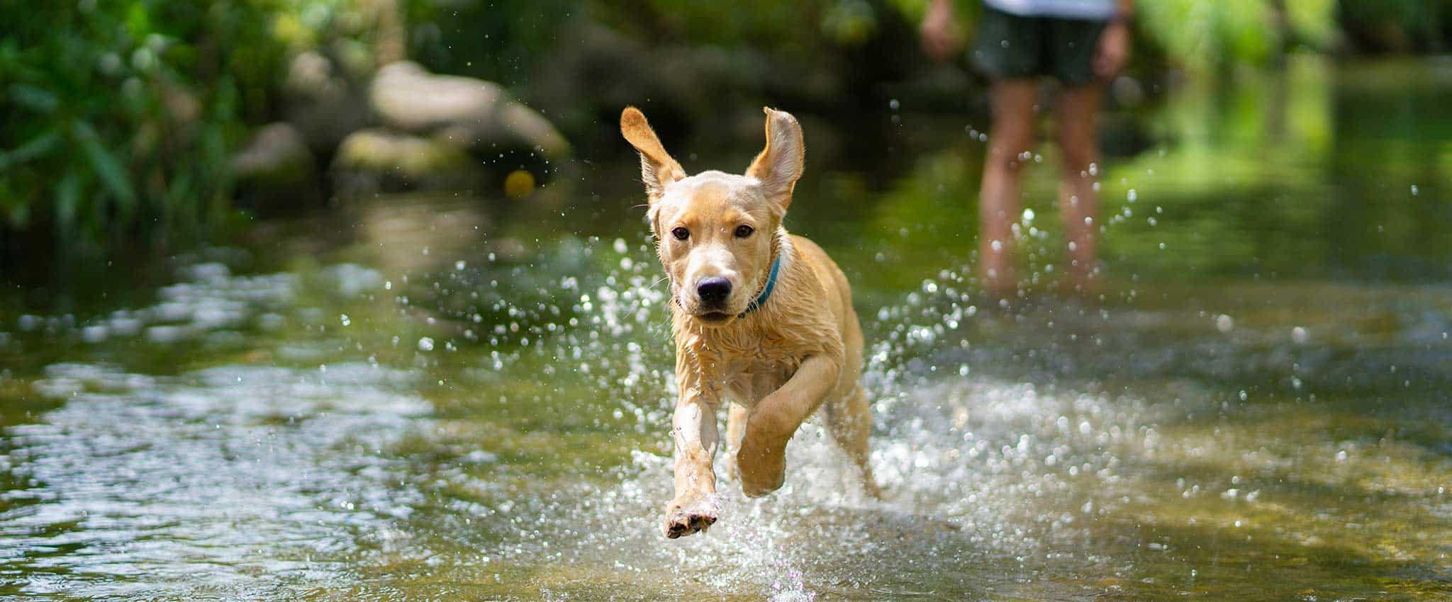 A dog running in a stream